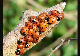 Eine Frau ließ ein paar Marienkäfer in ihr Haus, damit sie sich wärmen: bis zum Frühjahr hatten sie das ganze Haus gefüllt