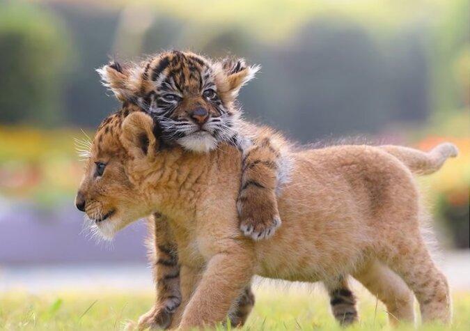Eine Löwin entdeckte ein ausgesetztes Leopardenbaby und beschloss, es zu adoptieren