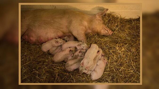Das Schwein mit den Ferkeln. Quelle: goodhouse