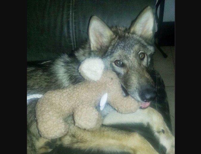 Der Junge fand auf der Straße einen ausgesetzten Welpen, der zu einem Wolf heranwuchs und nun bei ihm lebt