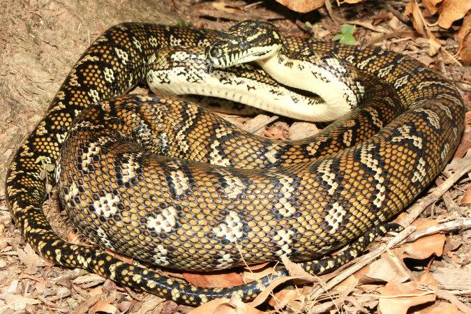 """""""Nach oben"""": Eine 2,2 Meter lange Schlange beschloss auf einen Baum zu klettern"""