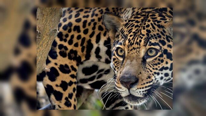 Ein Jaguar. Quelle:dailymail.co.uk