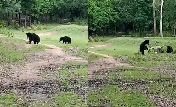 Zwei wilde Bären.Quelle:dailymail.co.uk