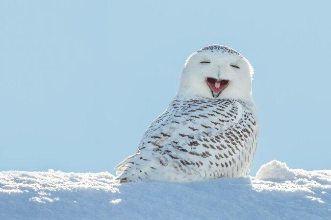 """""""Hedwig kehrt zurück"""": Schnee-Eule taucht zum ersten Mal seit 130 Jahren im New Yorker Central Park auf"""