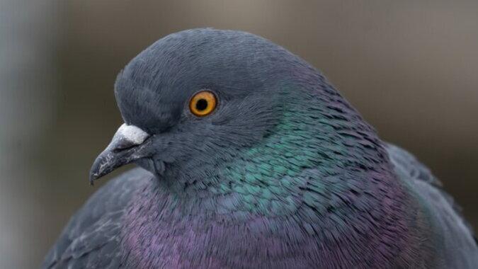 Eine Taube. Quelle: fishki.com