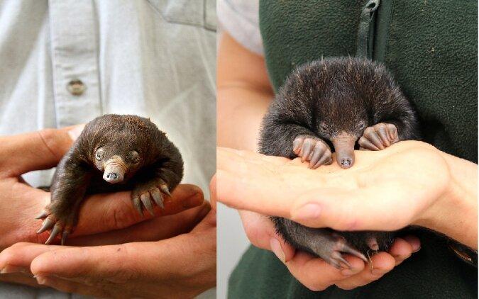 Baby-Echidna. Quelle:dailymail.co.uk