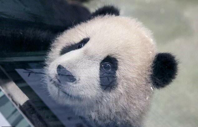 """""""Erstes Treffen"""": Der sechs Monate alte Babypanda kam nach der Geburt zum ersten Mal zu Menschen heraus"""
