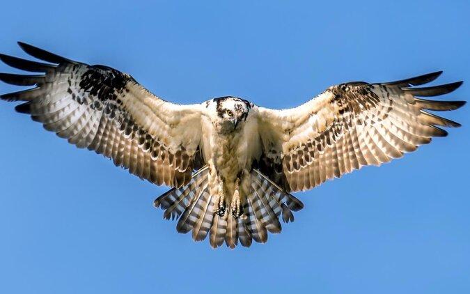 """""""Luft- und Wassermischung"""": Ein Falke hat zum Mittagessen einen ungewöhnlichen Fisch gefangen"""
