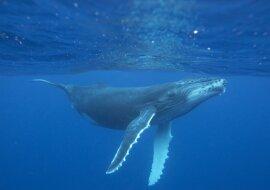 """""""Spiele der Wale"""": Ein paar Wale beschlossen, Touristen zu amüsieren, indem sie eine Aufführung ein paar Zentimeter vom Boot entfernt arrangierten"""