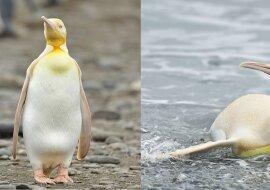 Gelber Pinguin. Quelle:dailymail.co.uk