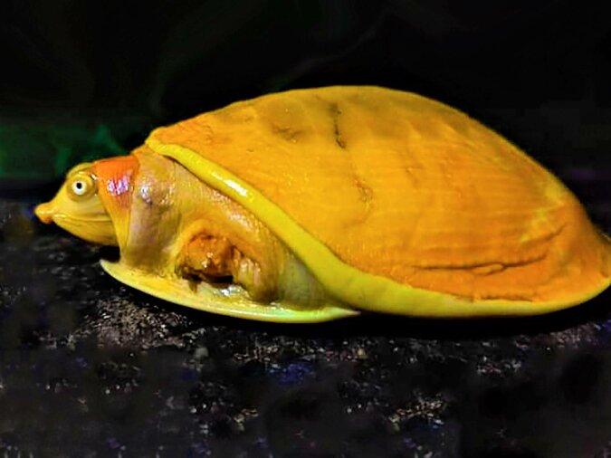 Die gelbe Albino-Schildkröte wurde aus einem Teich gerettet, die Einzelheiten sind bekannt geworden
