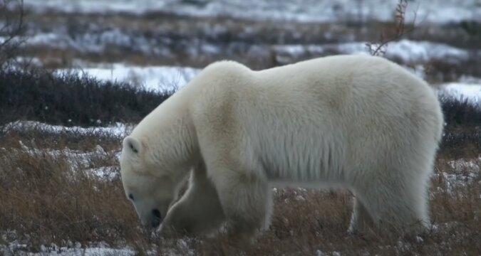 Eisbär. Quelle:storytrender.com