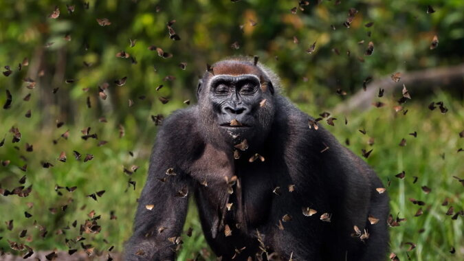 Ein Gorilla. Quelle: focus.com
