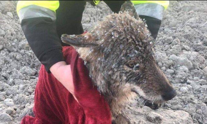 Die Bauarbeiter retteten einen gefrorenen Hund aus dem Fluss, aber in der Klinik fand es heraus, dass es ein Wolf war
