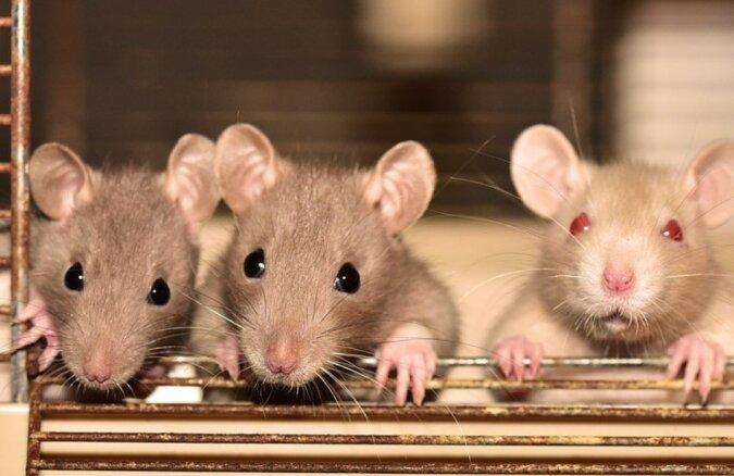Ratten Gefährlich