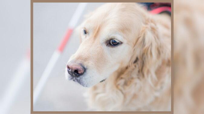 Ein Blindenführhund. Quelle:dailymail.co.uk