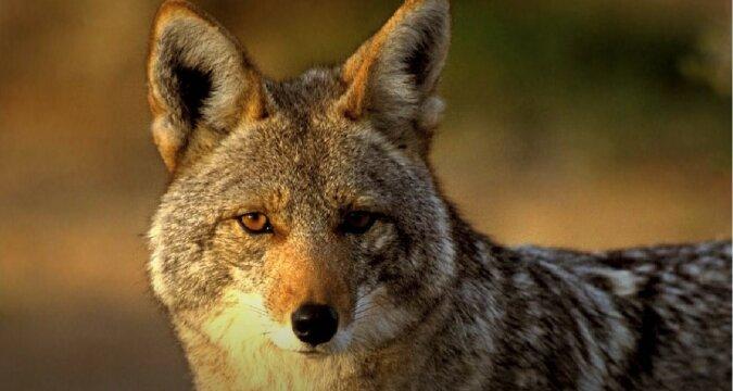 Kojot. Quelle:Screenshot YouTube