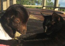 Die Katze und die Ziege. Quelle: zen.yandex