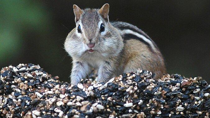 """""""Gieriges Tierchen"""": Streifenhörnchen versuchte, das ganze Essen gleichzeitig in seinen Mund zu stecken"""