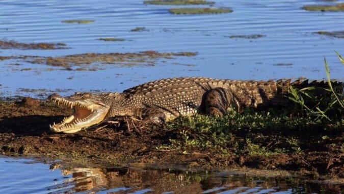 Ein Krokodil im Wasser. Quelle: travelask