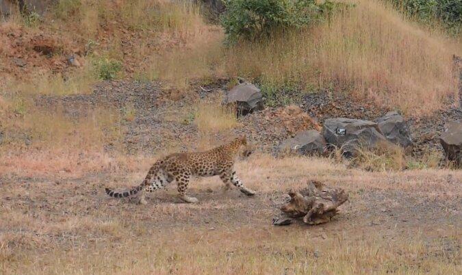 Ein Leopard fiel in einen Brunnen und konnte sich nicht mehr befreien: Spezialisten haben eine Rettungsaktion eingeleitet