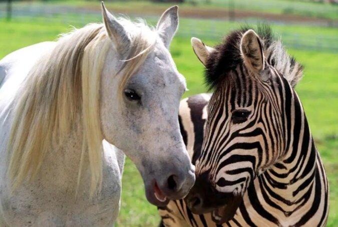 Gestreifte Pferde: Es wurde bekannt, warum das Zebra eine solche Farbe hat