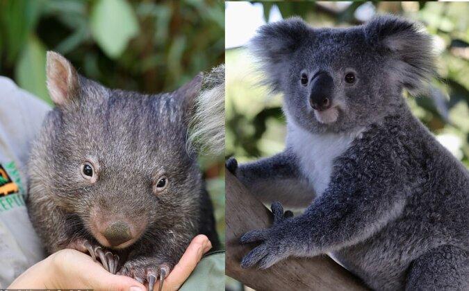Wombat und Koala. Quelle:dailymail.co.uk