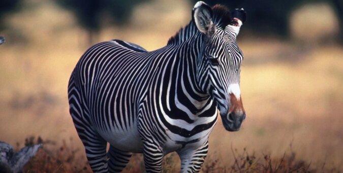 Zebra. Quelle: Screenshot YouTube