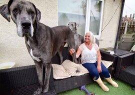 Weltmeister in Größe: die Dogge namens Freddy wird als größter Hund bezeichnet