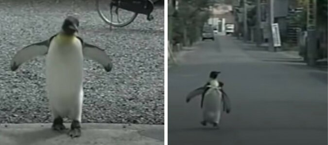 Pinguinweibchen. Quelle: lemurov.net