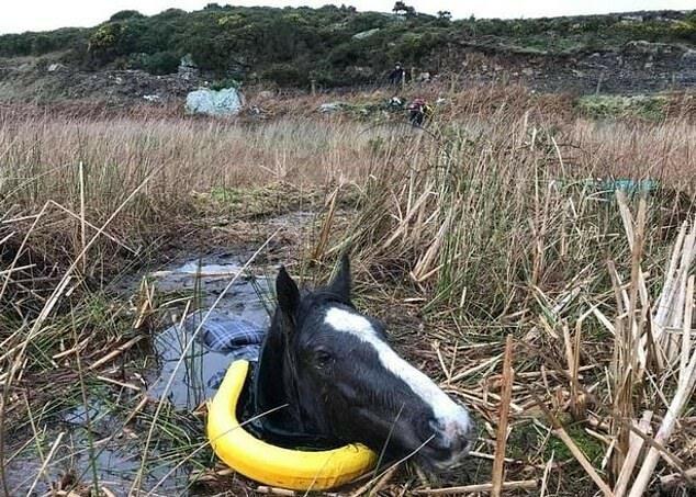 Wie es den Rettern gelang, das Pferd, das bis zum Hals im Schlamm war, aus dem Sumpf zu holen