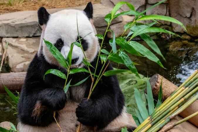 """""""Bambus-Nascher"""": Der entzückende Panda war vom Mittagessen so mitgerissen, dass er von der Bühne fiel"""