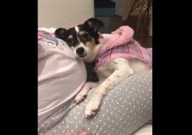 Der Hund drückt die Hand der werdenden Mutter zurück, um den Herzschlag des Babys zu hören