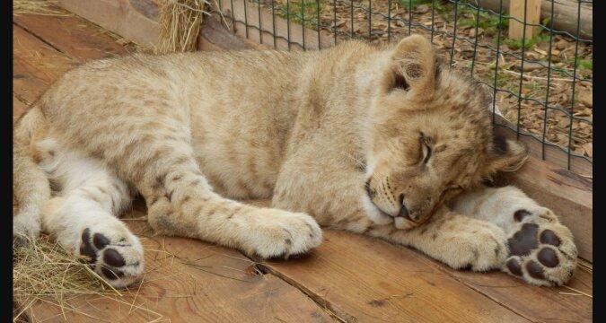 Ein kleines Löwenbaby fing an, sein Augenlicht zu verlieren und wurde von seiner Besitzerin weggenommen: Wie es jetzt lebt