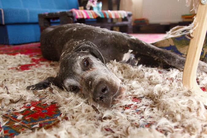 """""""Meer der Federn"""": Zwei allein zu Hause gelassene Hunde beschlossen, Streiche zu spielen, und die Besitzerin musste Möbel opfern"""