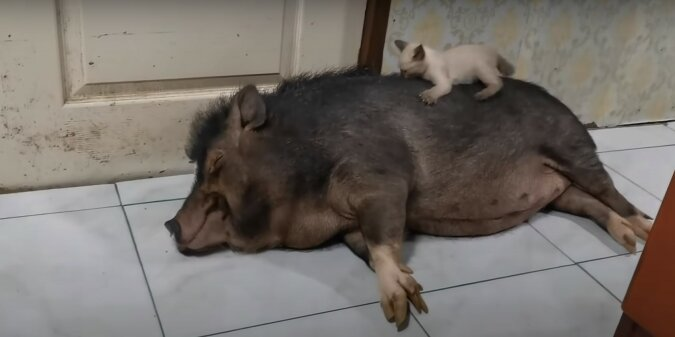 Schwein und Kätzchen. Quelle: Screenshot YouTube