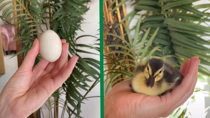 Ein Ei und ein Entlein. Quelle: Screenshot tiktok