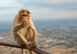Wissenschaftler haben das Geheimnis von Affen entdeckt, die gerne Lebensmittel im Austausch gegen persönliche Gegenstände von Touristen bekommen