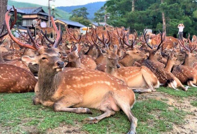 Warum sich täglich Hunderte von Hirschen zur gleichen Zeit im Nara-Park treffen