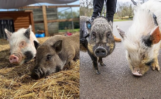 Die Mini-Schweine. Quelle:dailymail.co.uk