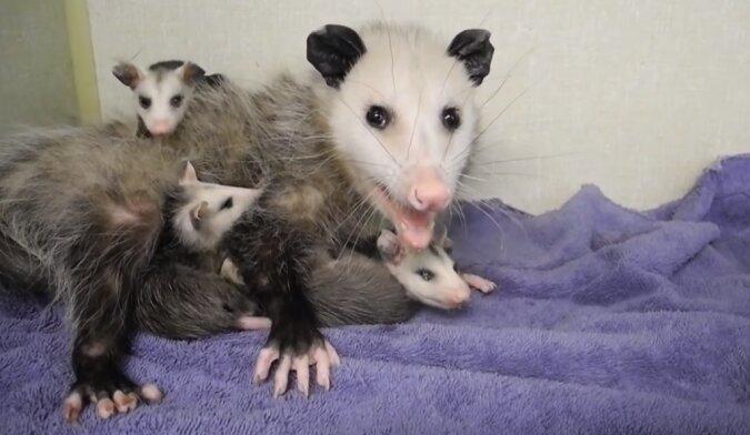 Opossums. Quelle: Screenshot YouTube