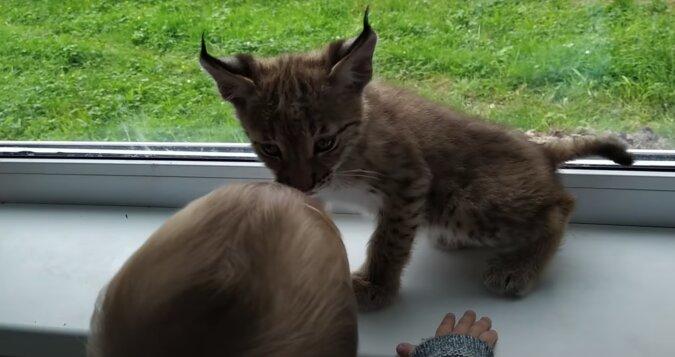 Eine junge Frau nahm eine streunende Katze auf: Es stellte sich heraus, dass sie ein echtes Raubtier nach Hause nahm