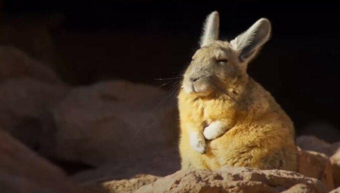 Viscacha. Quelle: Screenshot YouTube