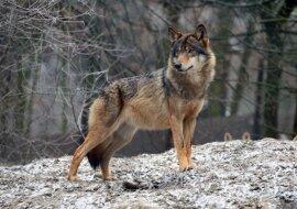 Eine mutige Tat: Frauen entdeckten einen Wolf im eiskalten Wasser und zogen ihn ans Ufer
