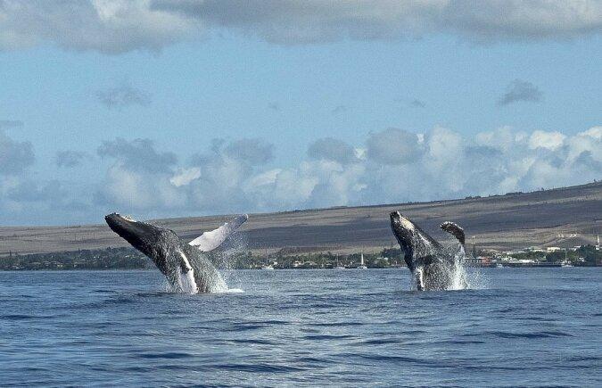 """""""Auf der gleichen Wellenlänge"""": Ein Walpaar veranstaltete gleichzeitig eine Wassershow"""