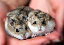 Hamster. Quelle: pinterest