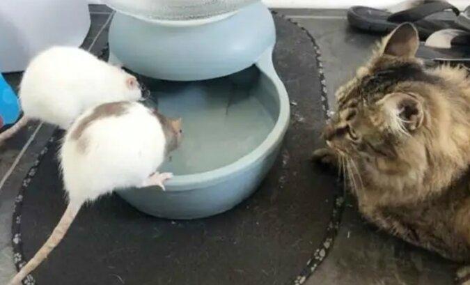 Die Katze mit zwei Ratten. Quelle: zen.yandex