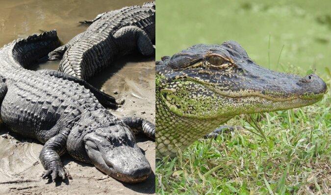 Ein Krokodil. Quelle:dailymail.co.uk