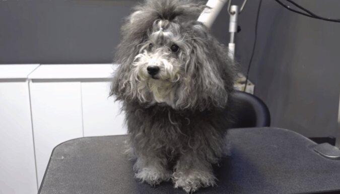 Der zottelige Hund sah wie ein Yeti aus, aber ein Hundefriseur schaffte es, ihn in ein flauschiges Tierchen zu verwandeln