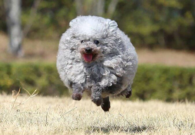 """""""Schwer zu unterscheiden"""": Das schöne Fell des japanischen Pudels lässt den Hund wie ein Lamm aussehen"""